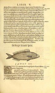 rondelet-libri-de-piscibus-marinis-1553